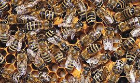 Bienenlobby